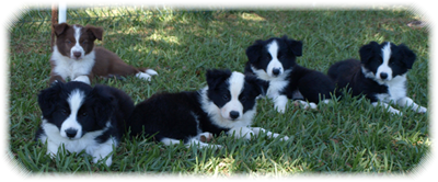 Camada I Border Collie