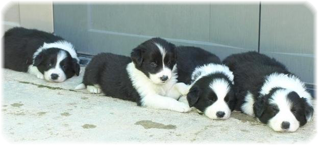 Camada B Border Collie