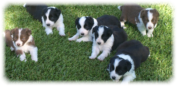 Camada E Border Collie