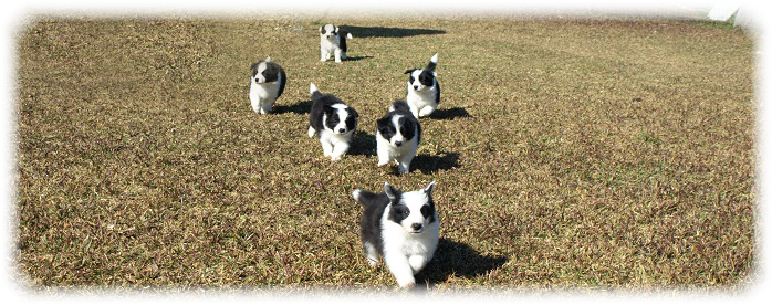 Camada G Border Collie