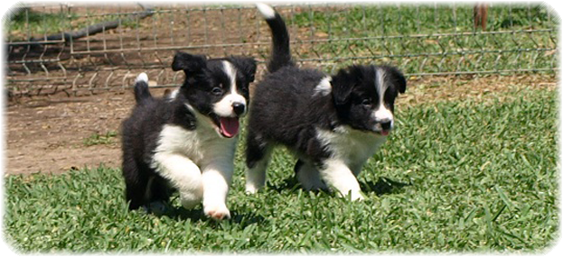Camada F Border Collie