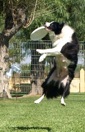 Better Border Collie Frisbee