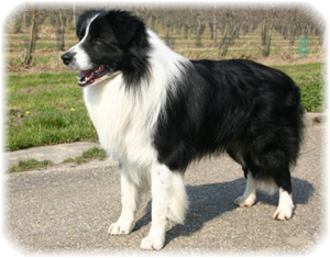 Luca Border Collie