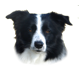 Hembras Border Collie