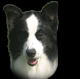 Machos Border Collie