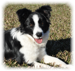Border Collie Astra