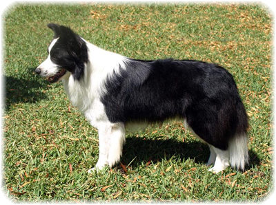 Border Collie Byron