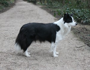 border collie hembra